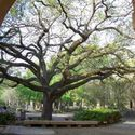 Oak tree inside the campus :: Louisiana State University and Agricultural & Mechanical College
